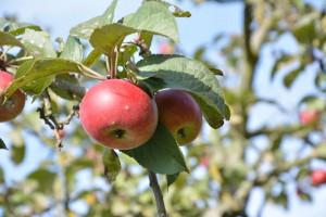 Äpfel; Foto:Fred Häusler