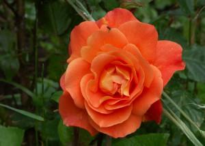 Orangene Rose; Foto:Fred Häusler