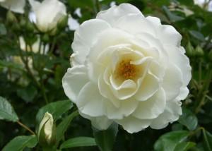 Weiße Rose; Foto:Fred Häusler