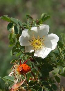 Wildrose; Foto:Fred Häusler