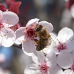 Biene auf Kirschblüte1; Foto: Fred Häusler