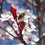 Biene auf Kirschblüte2; Foto: Fred Häusler