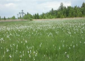 Wollgras am Staffelsee; Foto:Fred Häusler